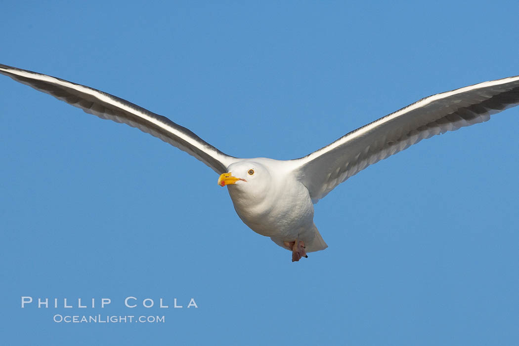 Western gull, flying. La Jolla, California, USA, Larus occidentalis, natural history stock photograph, photo id 15560