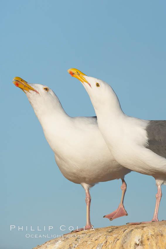 Western gulls, courtship behaviour. La Jolla, California, USA, Larus occidentalis, natural history stock photograph, photo id 18396