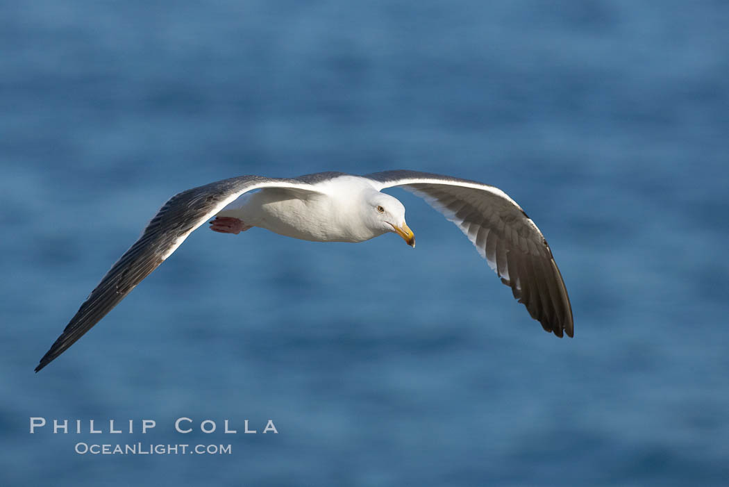 Western gull, flying. La Jolla, California, USA, Larus occidentalis, natural history stock photograph, photo id 15561
