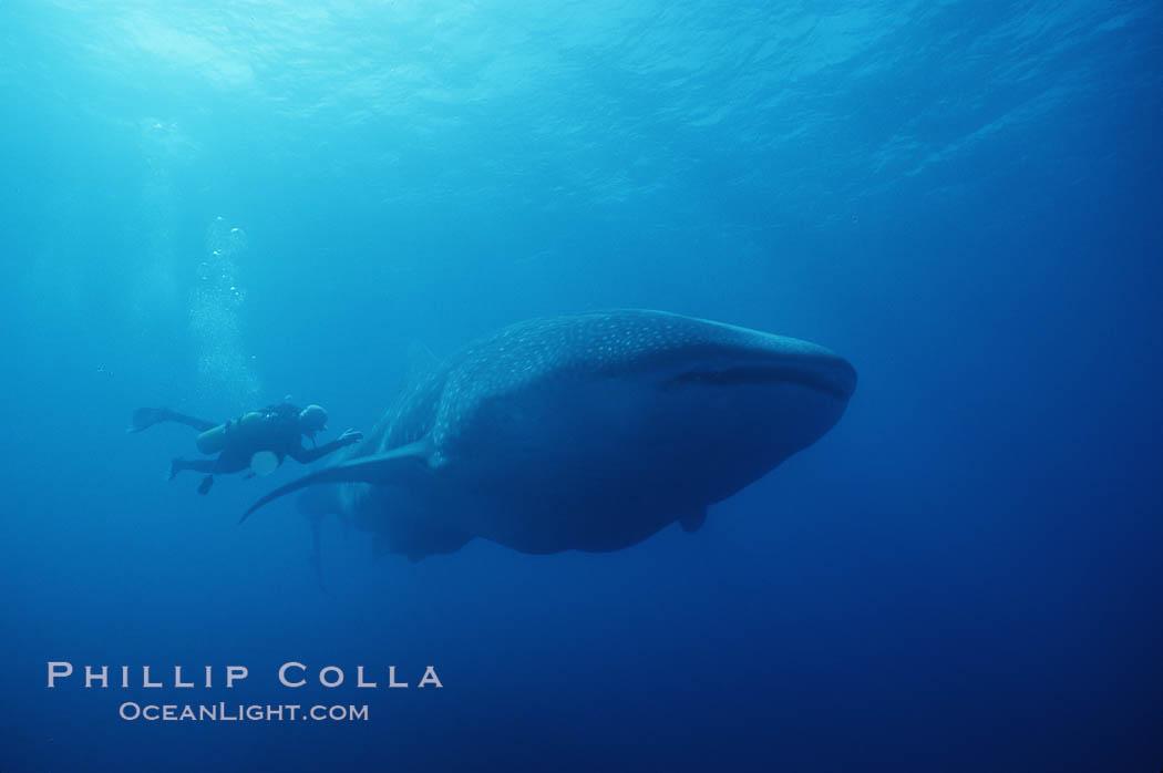 Whale shark. Darwin Island, Galapagos Islands, Ecuador, Rhincodon typus, natural history stock photograph, photo id 01501