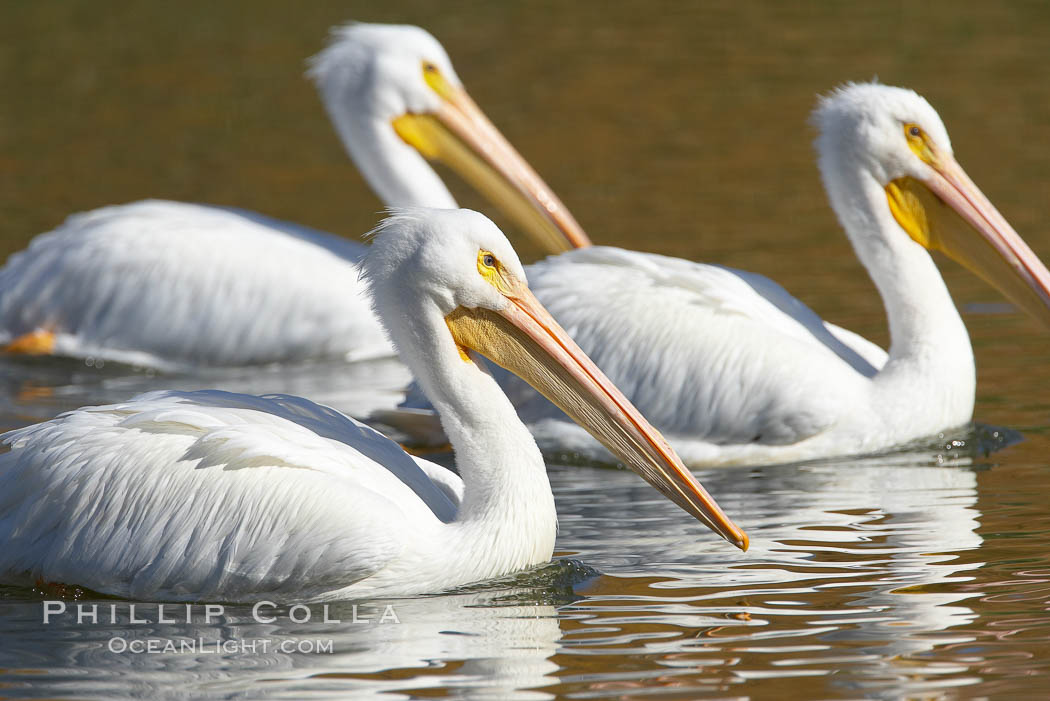 White pelican. Santee Lakes, California, USA, Pelecanus erythrorhynchos, natural history stock photograph, photo id 20114