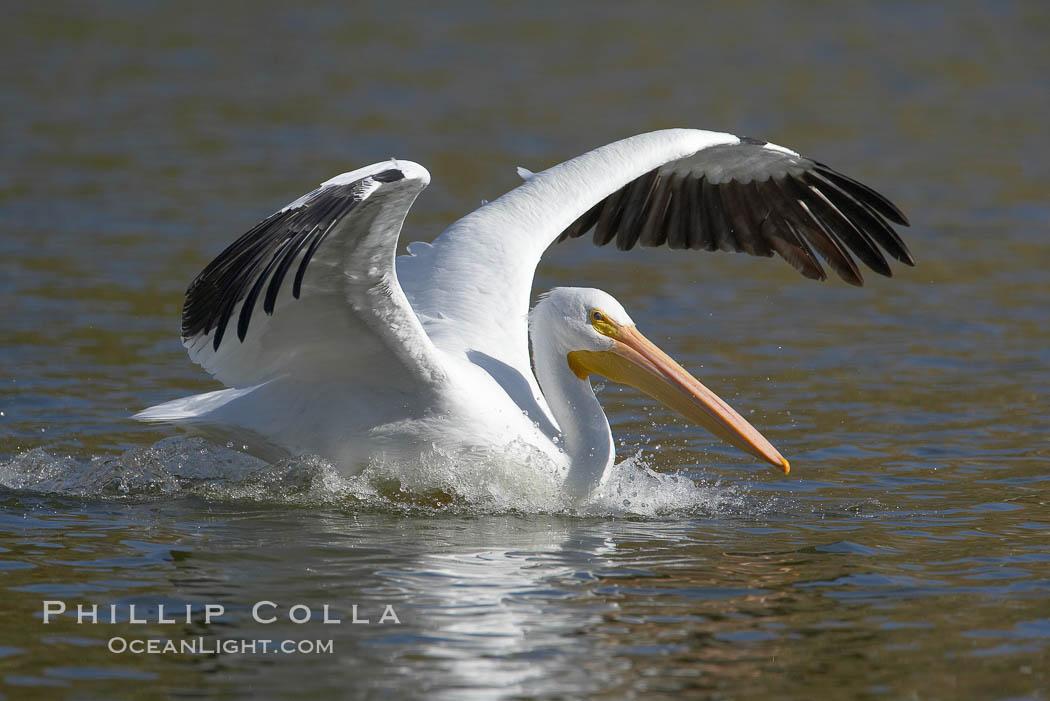Image 20106, White pelican. Santee Lakes, Santee, California, USA, Pelecanus erythrorhynchos, Phillip Colla, all rights reserved worldwide. Keywords: american white pelican, animal, animalia, aves, bird, california, chordata, erythrorhynchos, pelecanidae, pelecaniformes, pelecanus, pelecanus erythrorhynchos, pelican, santee, santee lakes, usa, vertebrata, vertebrate, white pelican.