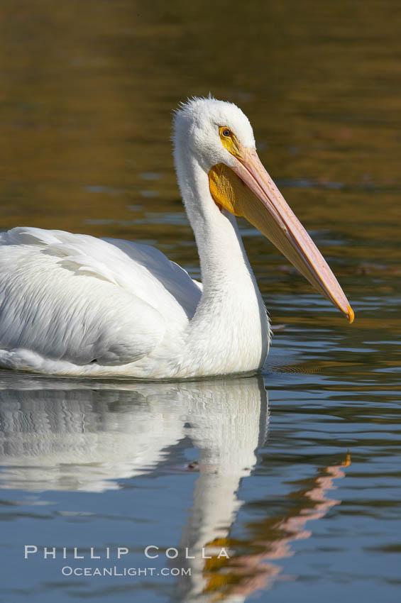 Image 20112, White pelican. Santee Lakes, Santee, California, USA, Pelecanus erythrorhynchos