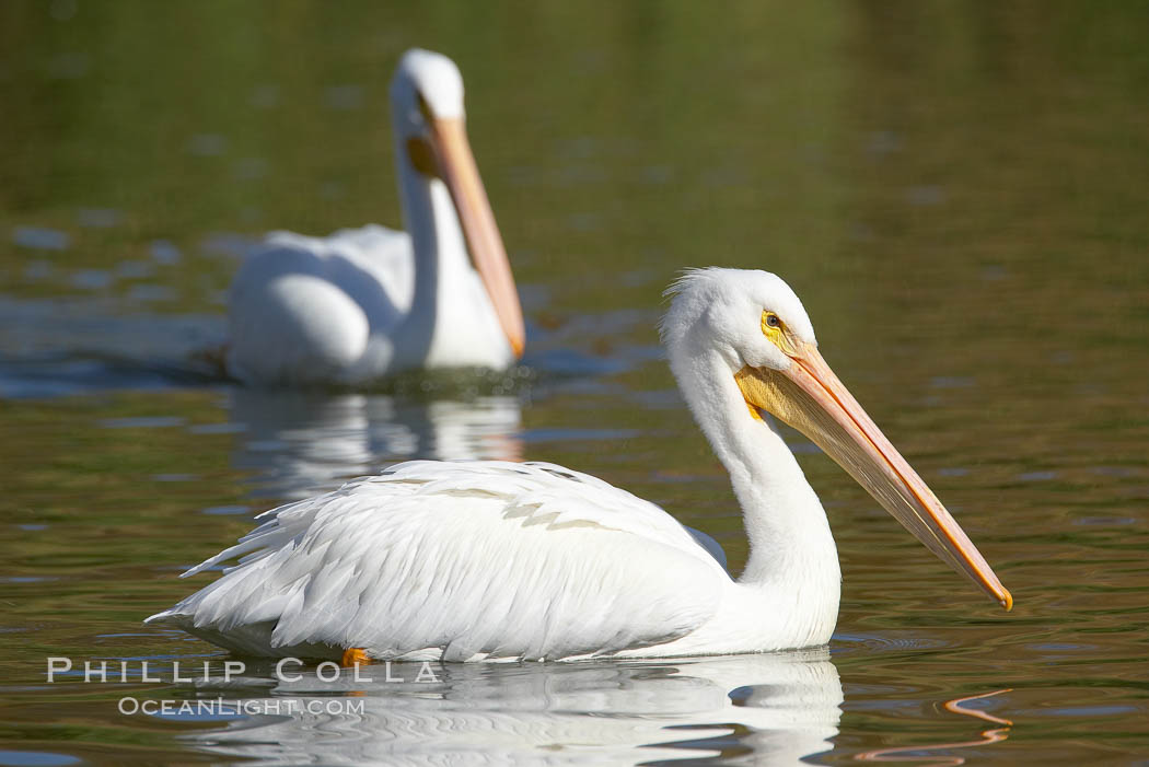 White pelican. Santee Lakes, Santee, California, USA, Pelecanus erythrorhynchos, natural history stock photograph, photo id 20109