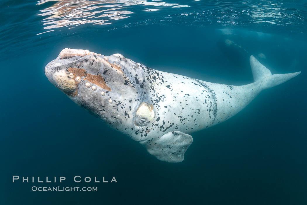 White southern right whale calf underwater, Eubalaena australis, Argentina, Eubalaena australis, Puerto Piramides, Chubut