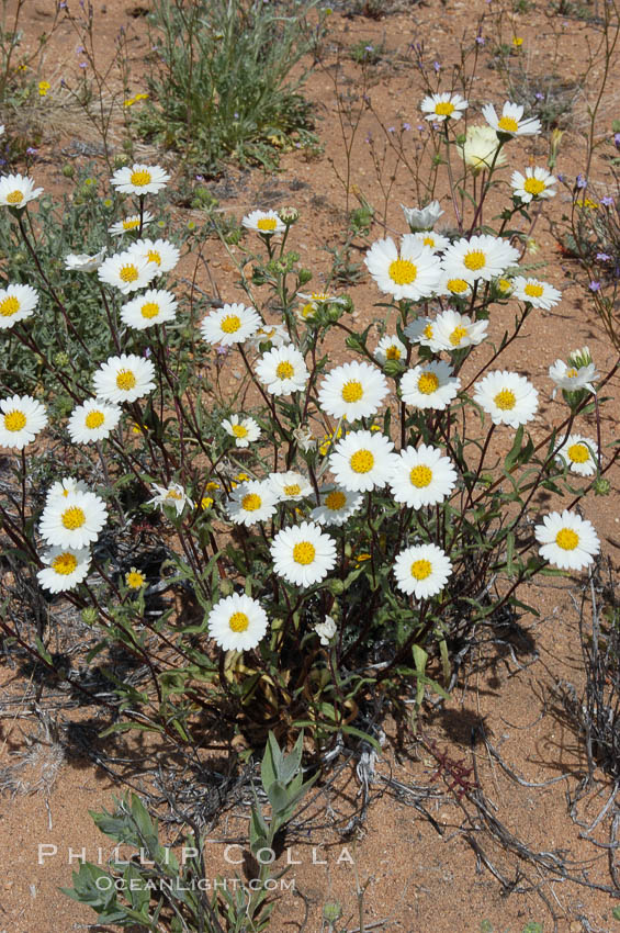 A springtime cluster of white tidy-tips, a common wildflower in teh Colorado Desert. Joshua Tree National Park, California, USA, Layia glandulosa, natural history stock photograph, photo id 09109