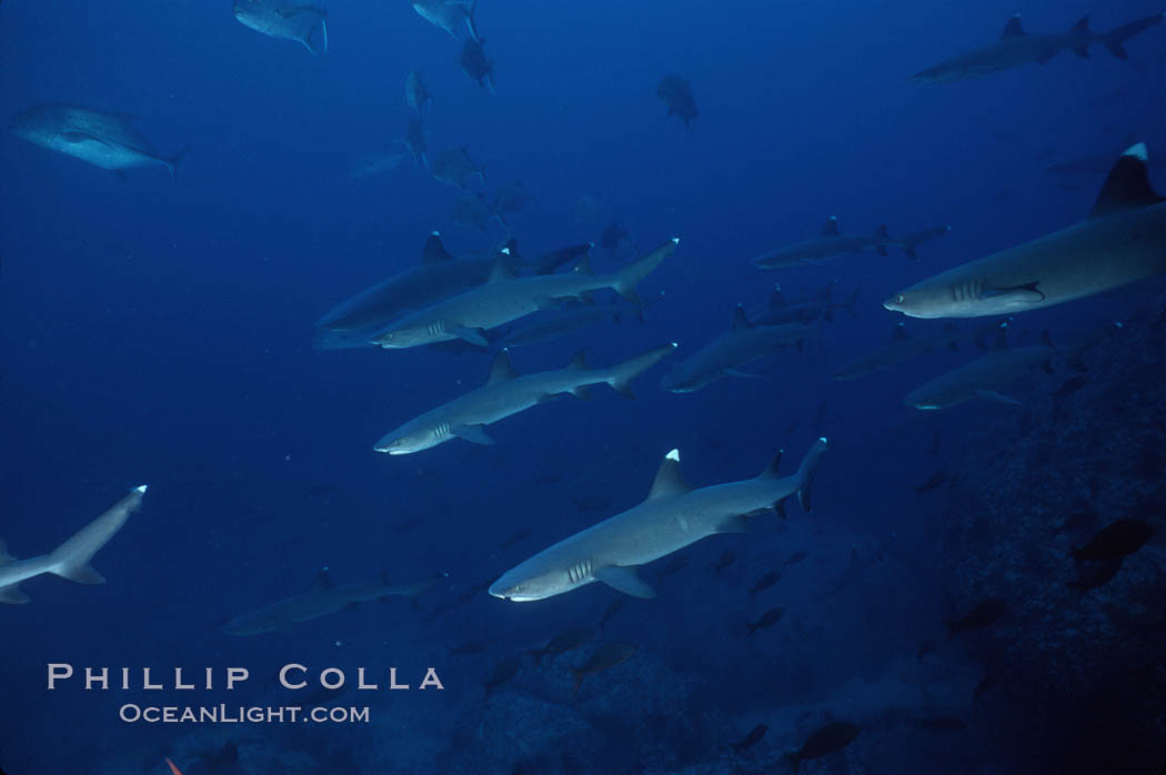 Reef whitetip sharks. Cocos Island, Costa Rica, Triaenodon obesus, natural history stock photograph, photo id 03297