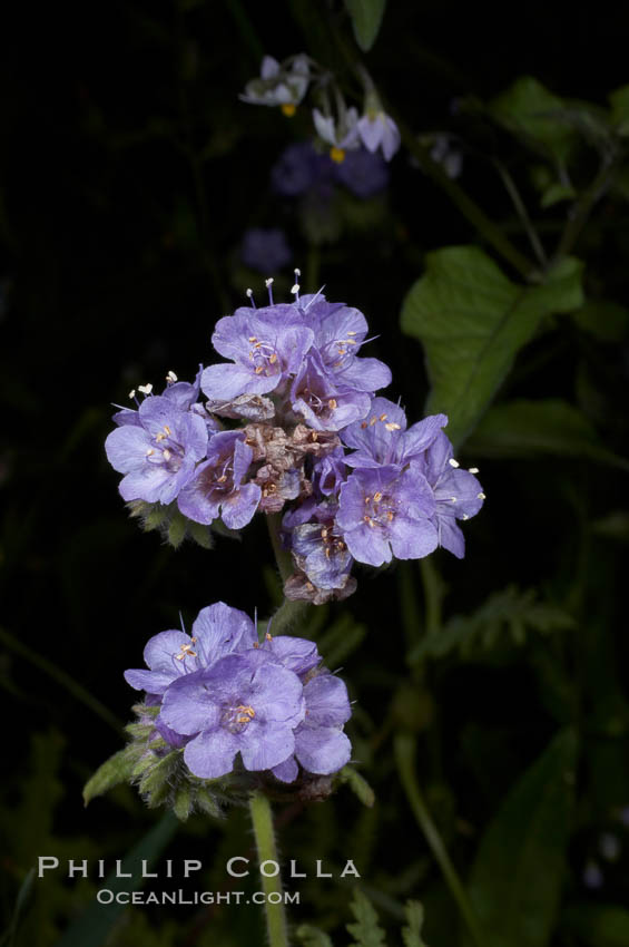Wild heliotrope blooms in spring, Batiquitos Lagoon, Carlsbad. Batiquitos Lagoon, Carlsbad, California, USA, Phacelia distans, natural history stock photograph, photo id 11690