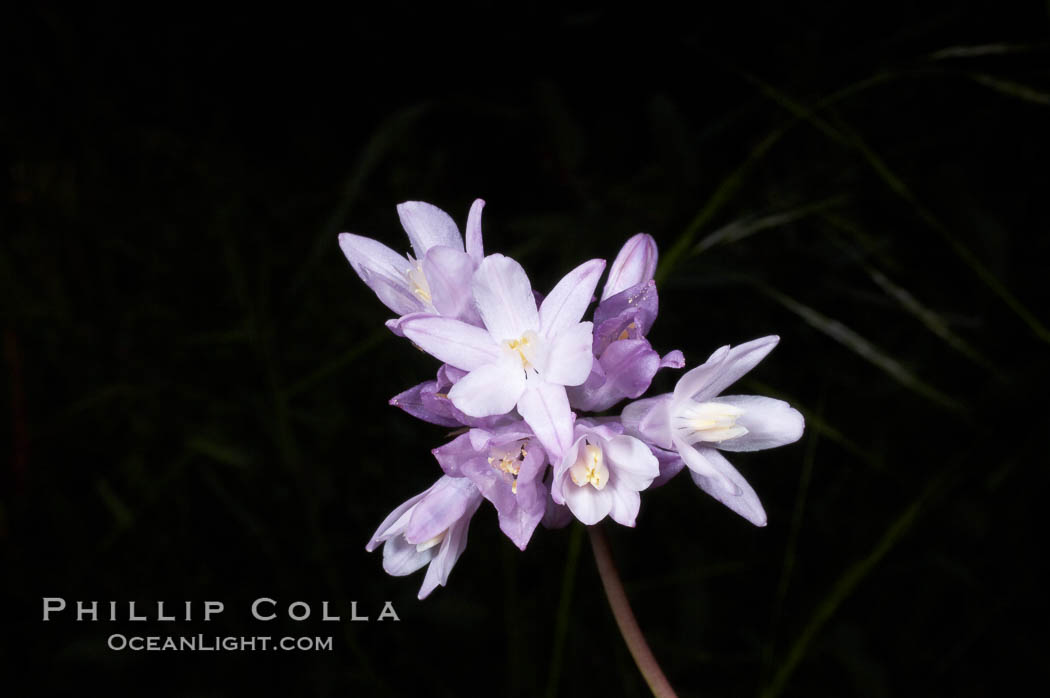 Wild hyacinth blooms in spring, Batiquitos Lagoon, Carlsbad. Batiquitos Lagoon, Carlsbad, California, USA, Dichelostemma capitatum capitatum, natural history stock photograph, photo id 11542