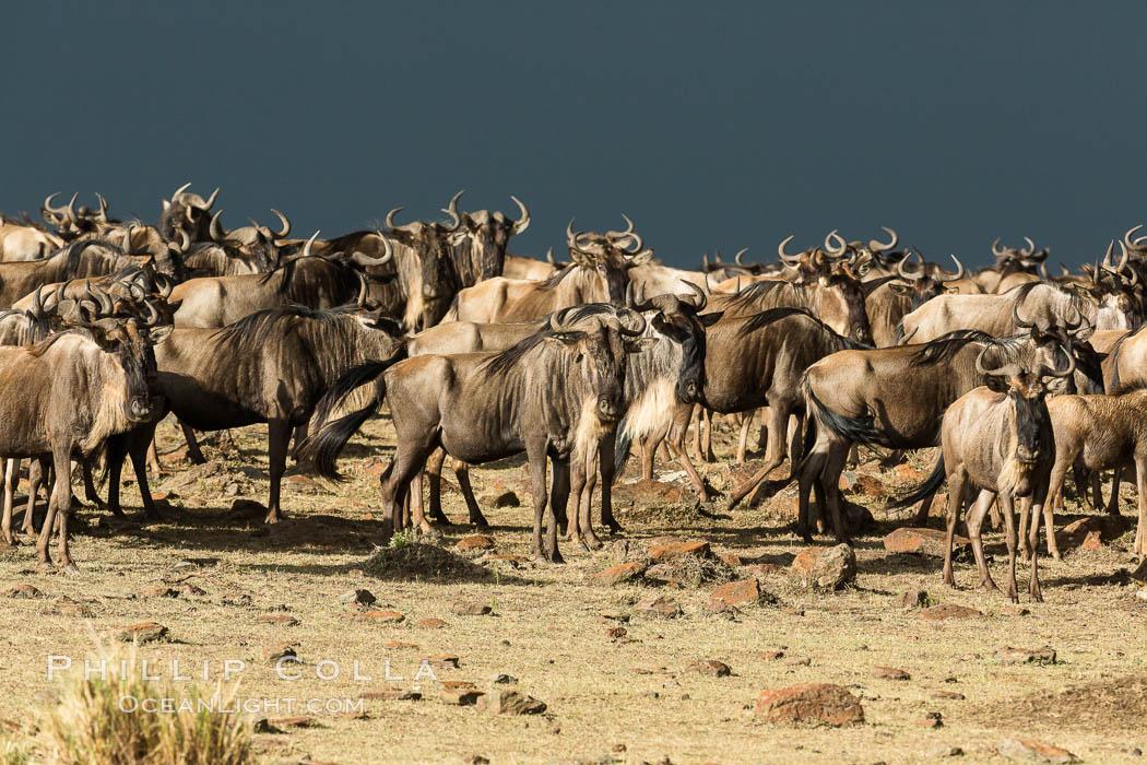 Wildebeest Herd, Maasai Mara National Reserve, Kenya. Maasai Mara National Reserve, Kenya, Connochaetes taurinus, natural history stock photograph, photo id 29783