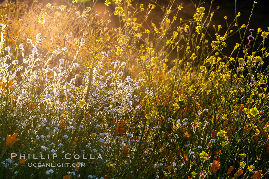 Wildflowers and California Poppies in Bloom, Elsinore. Elsinore, California, USA, Eschscholzia californica, natural history stock photograph, photo id 35248