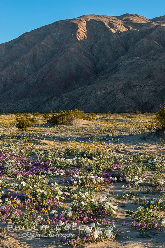 Wildflowers in Anza-Borrego Desert State Park. Anza-Borrego Desert State Park, Borrego Springs, California, USA, Abronia villosa, Oenothera deltoides, natural history stock photograph, photo id 30510