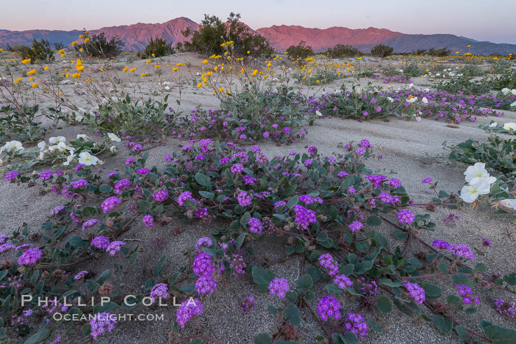 Wildflowers in Anza-Borrego Desert State Park. Borrego Springs, California, USA, Abronia villosa, natural history stock photograph, photo id 30534