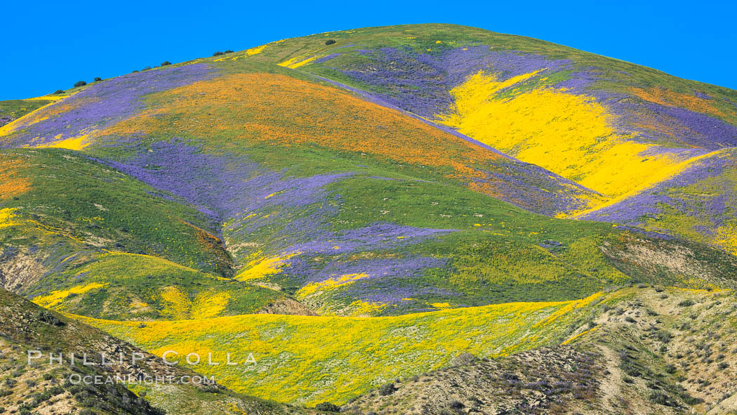 Wildflowers bloom across Carrizo Plains National Monument, during the 2017 Superbloom. Carrizo Plain National Monument, California, USA, natural history stock photograph, photo id 33242