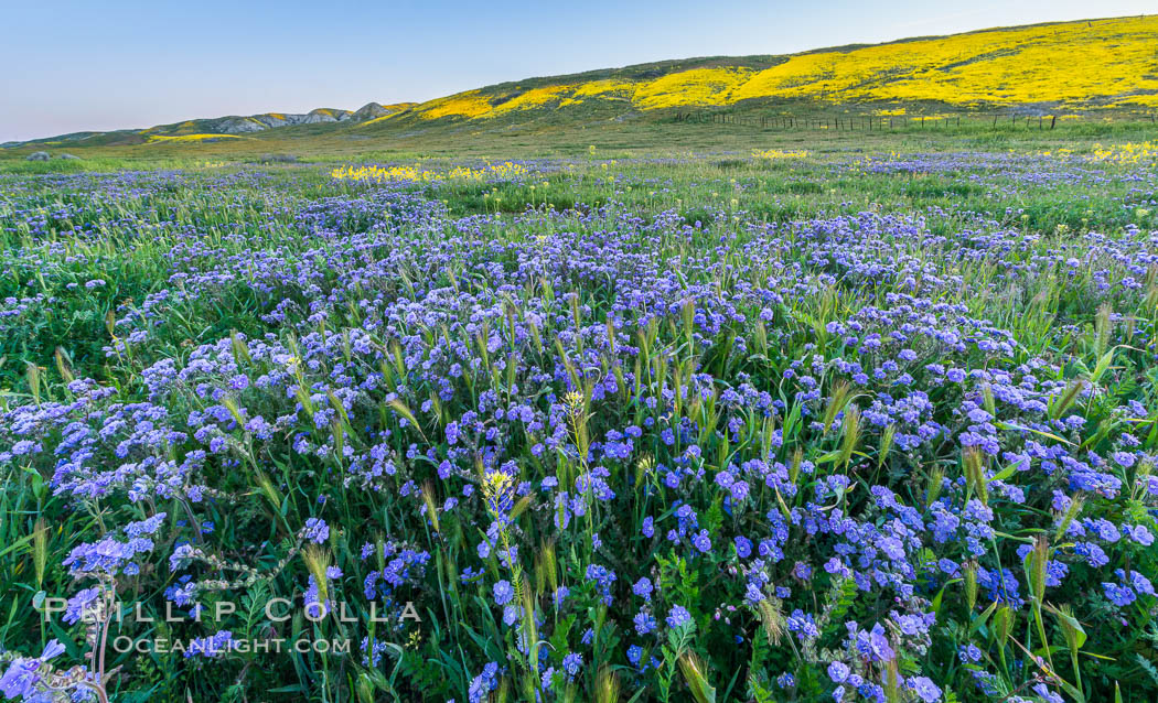 Wildflowers bloom across Carrizo Plains National Monument, during the 2017 Superbloom. Carrizo Plain National Monument, California, USA, natural history stock photograph, photo id 33227