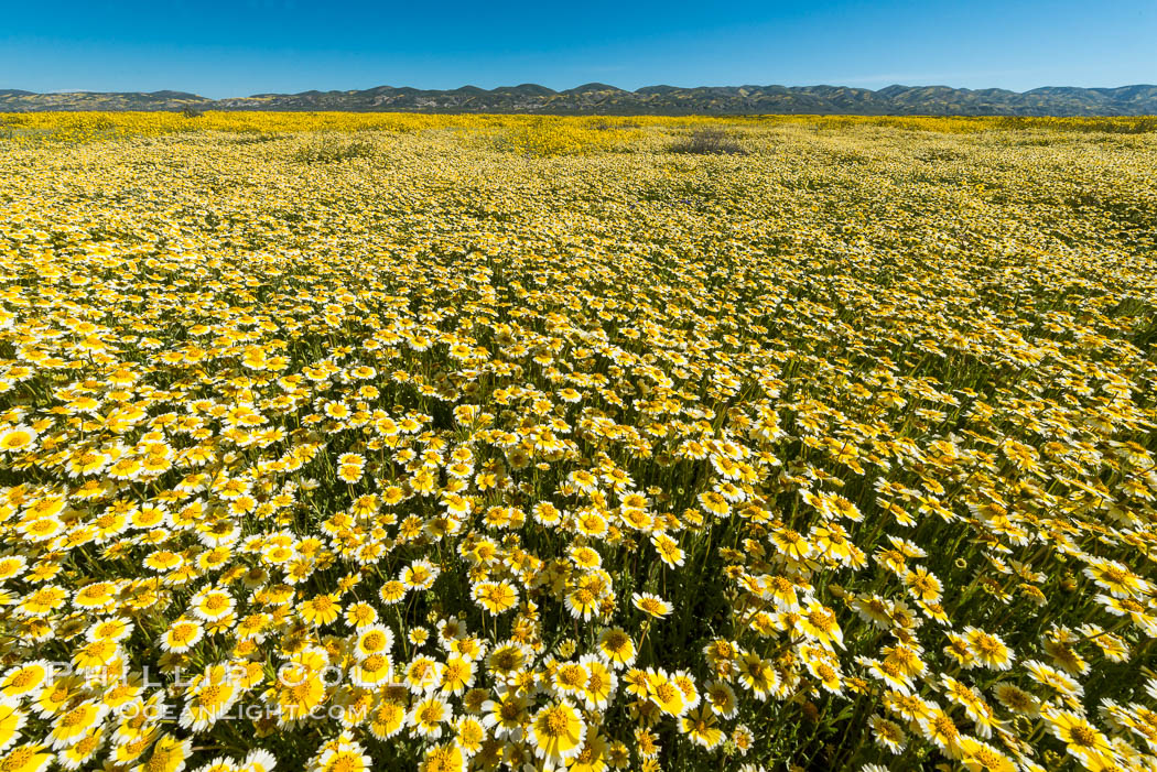 Wildflowers bloom across Carrizo Plains National Monument, during the 2017 Superbloom. Carrizo Plain National Monument, California, USA, natural history stock photograph, photo id 33233