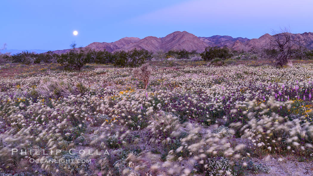 Wildflowers Bloom in Spring, Joshua Tree National Park. Joshua Tree National Park, California, USA, natural history stock photograph, photo id 33142