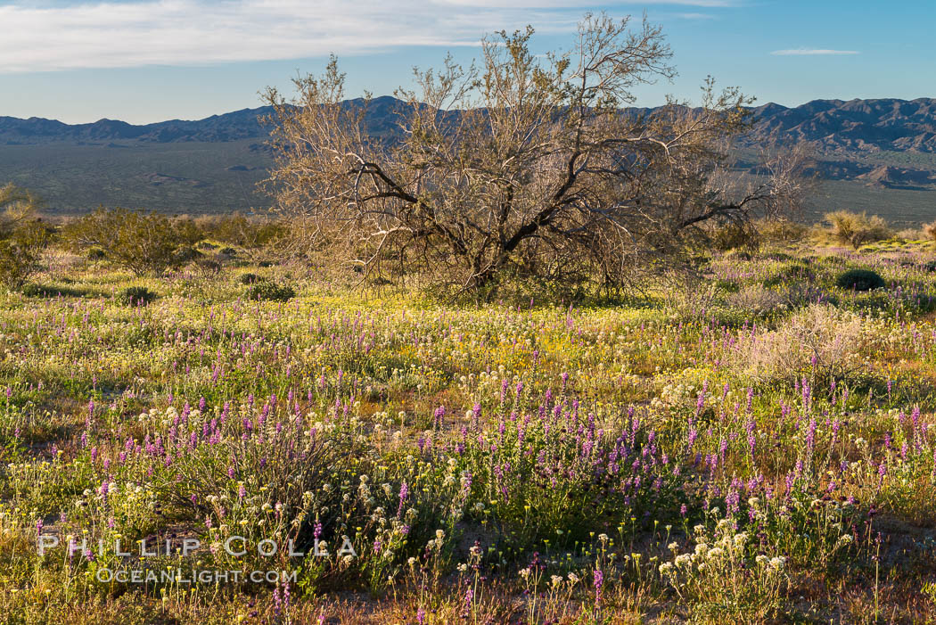 Wildflowers Bloom in Spring, Joshua Tree National Park. Joshua Tree National Park, California, USA, natural history stock photograph, photo id 33145