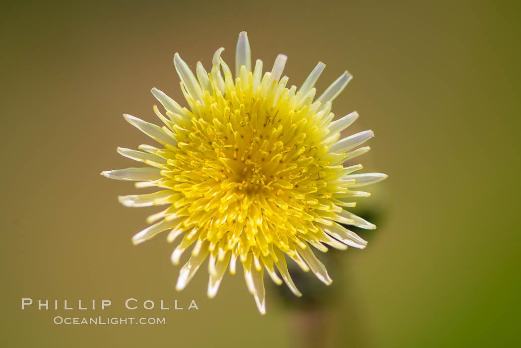 Wildflowers, Rancho La Costa, Carlsbad. Rancho La Costa, Carlsbad, California, USA, natural history stock photograph, photo id 33118