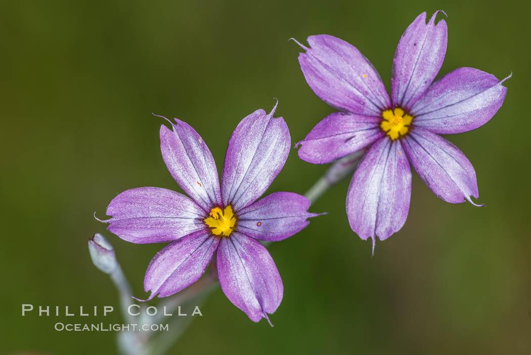 Wildflowers, Rancho La Costa, Carlsbad. Rancho La Costa, Carlsbad, California, USA, natural history stock photograph, photo id 33211