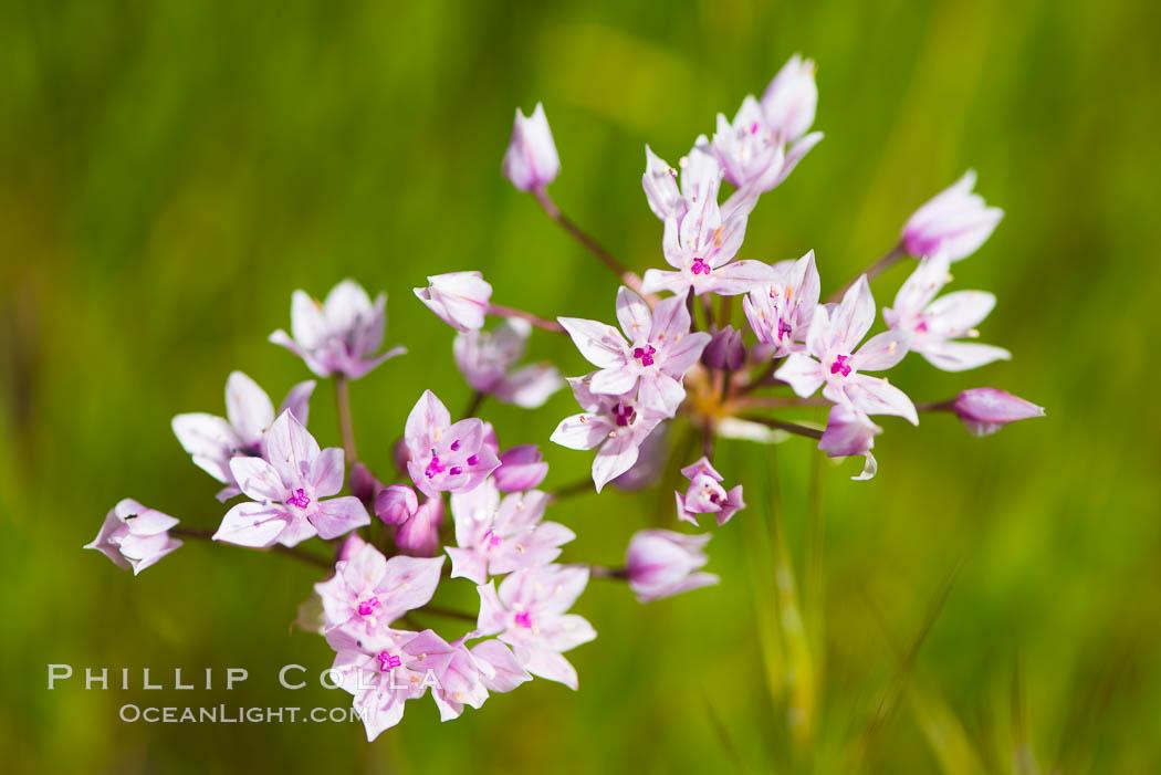 Wildflowers, Rancho La Costa, Carlsbad. Rancho La Costa, Carlsbad, California, USA, natural history stock photograph, photo id 33117