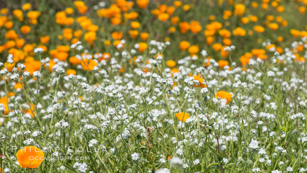 Wildflowers, Rancho La Costa, Carlsbad. Rancho La Costa, Carlsbad, California, USA, natural history stock photograph, photo id 33121
