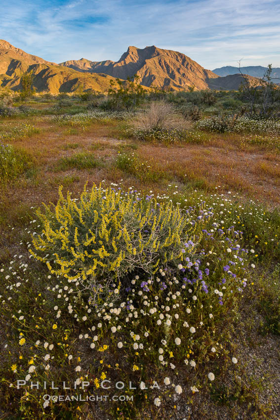 Image 33173, Wildflowers bloom in Anza Borrego Desert State Park, during the 2017 Superbloom. Anza-Borrego Desert State Park, Borrego Springs, California, USA, Phillip Colla, all rights reserved worldwide. Keywords: anza borrego, anza borrego desert state park, bloom, borrego springs, california, flower, nature, outside, plant, spring, superbloom.
