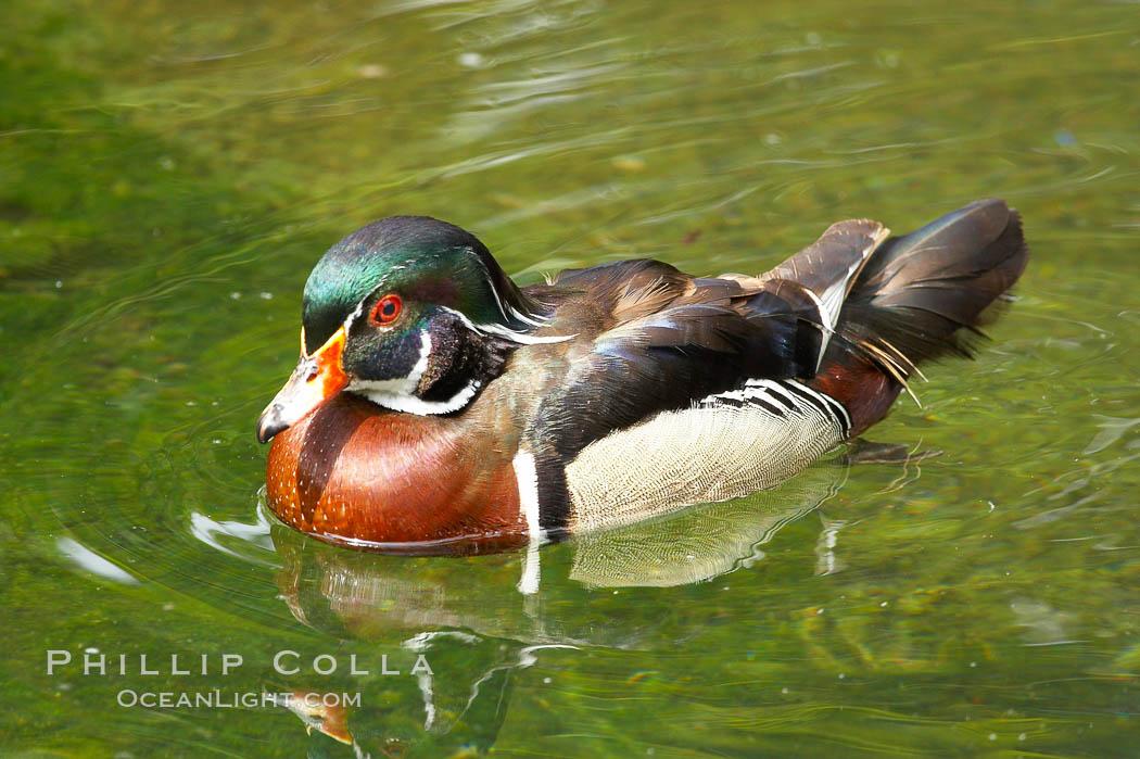 Wood duck., Aix sponsa, natural history stock photograph, photo id 12530