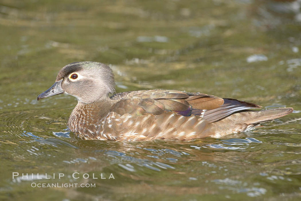 Wood duck, female. Santee Lakes, California, USA, Aix sponsa, natural history stock photograph, photo id 15709