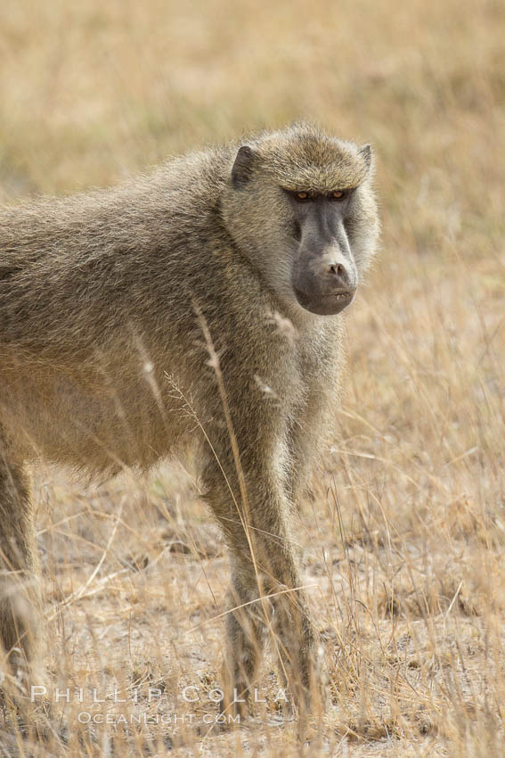 Yellow Baboon, Amboseli National Park, Kenya. Amboseli National Park, Kenya, Papio cynocephalus, natural history stock photograph, photo id 29496