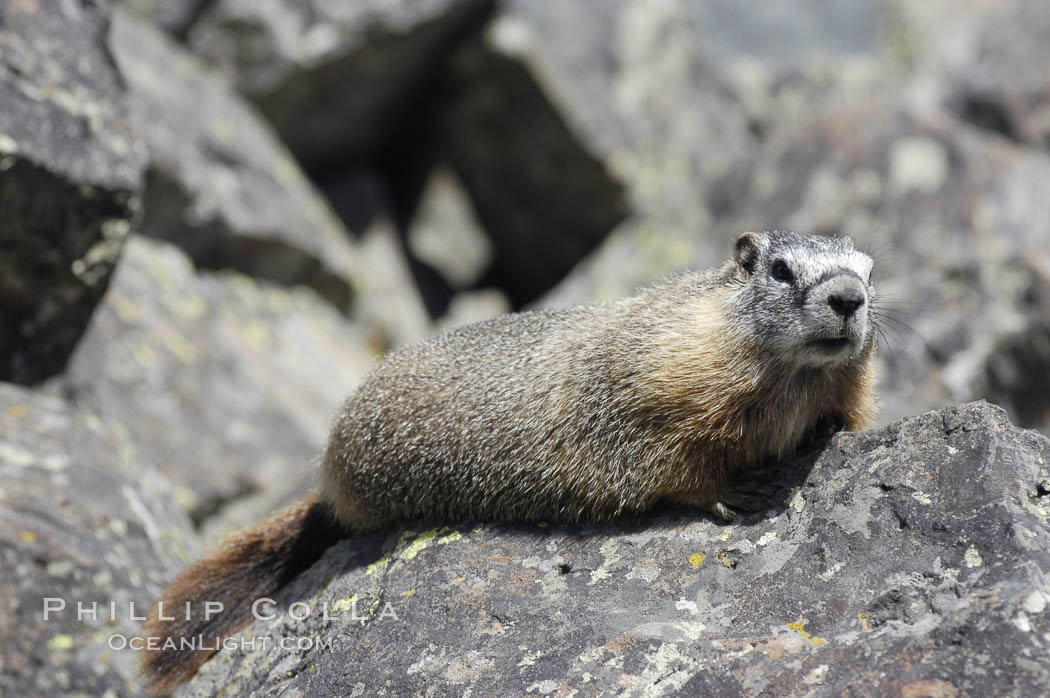 Yellow-bellied marmots can often be found on rocky slopes, perched atop boulders. Yellowstone National Park, Wyoming, USA, Marmota flaviventris, natural history stock photograph, photo id 07328