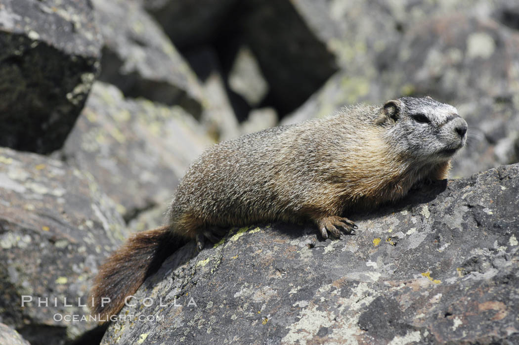Yellow-bellied marmots can often be found on rocky slopes, perched atop boulders. Yellowstone National Park, Wyoming, USA, Marmota flaviventris, natural history stock photograph, photo id 07332