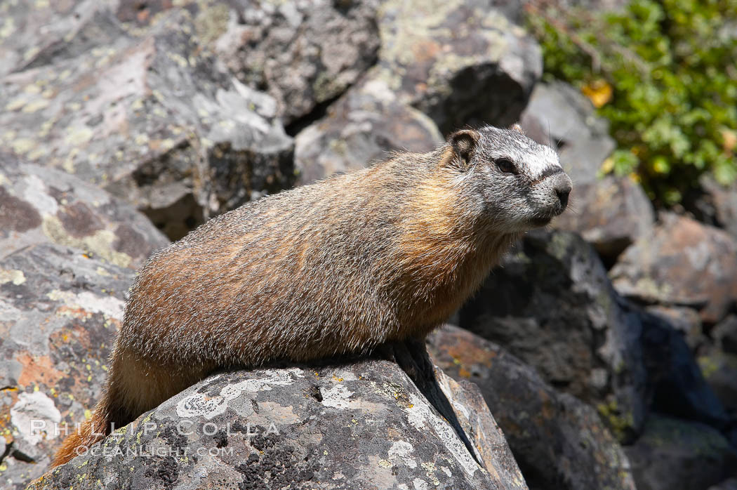 Yellow-bellied marmots can often be found on rocky slopes, perched atop boulders. Yellowstone National Park, Wyoming, USA, Marmota flaviventris, natural history stock photograph, photo id 13056