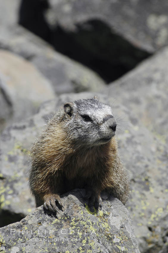 Yellow-bellied marmots can often be found on rocky slopes, perched atop boulders. Yellowstone National Park, Wyoming, USA, Marmota flaviventris, natural history stock photograph, photo id 07331