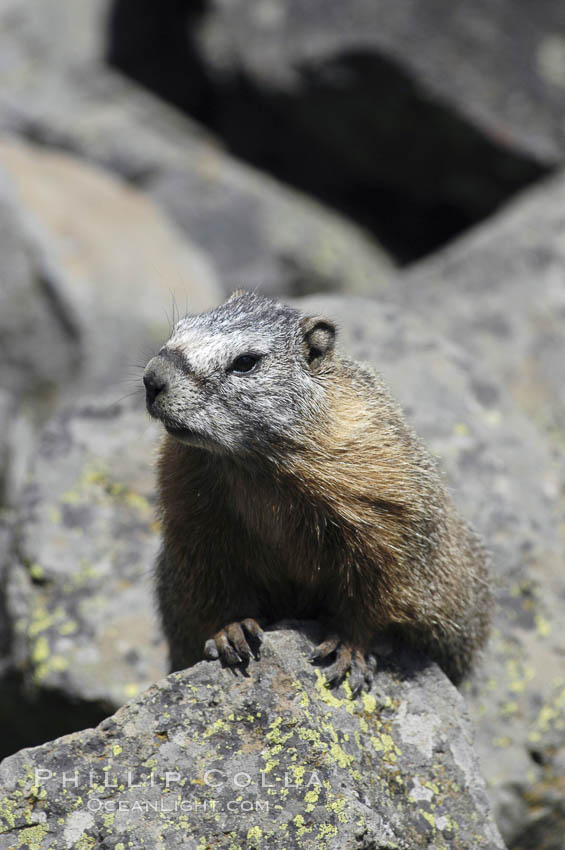 Yellow-bellied marmots can often be found on rocky slopes, perched atop boulders. Yellowstone National Park, Wyoming, USA, Marmota flaviventris, natural history stock photograph, photo id 07329