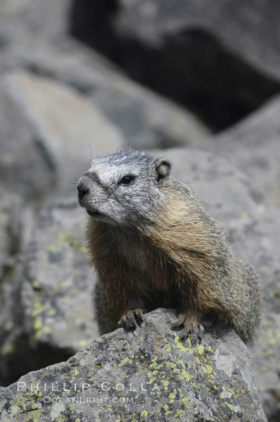 Yellow-bellied marmots can often be found on rocky slopes, perched atop boulders. Yellowstone National Park, Wyoming, USA, Marmota flaviventris, natural history stock photograph, photo id 07333
