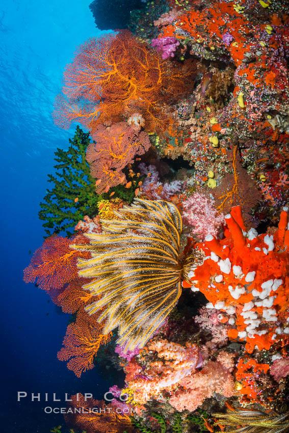 Yellow crinoid, green fan coral and red gorgonian on colorful and pristine coral reef, Fiji. Vatu I Ra Passage, Bligh Waters, Viti Levu  Island, Fiji, Dendronephthya, Crinoidea, Gorgonacea, natural history stock photograph, photo id 31639