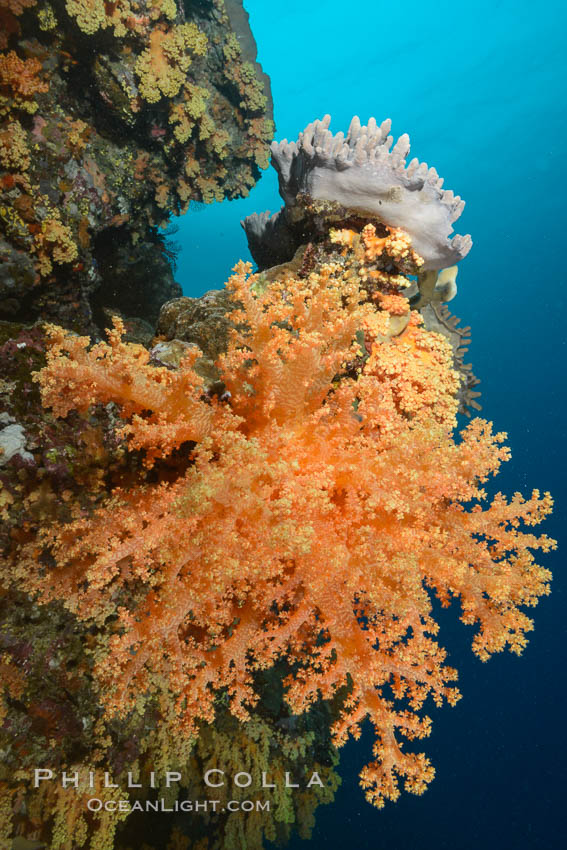 Yellow soft corals cover pristine south pacific coral reef, extending in strong ocean currents to capture passing planktonic food. Fiji, Dendronephthya, natural history stock photograph, photo id 31624