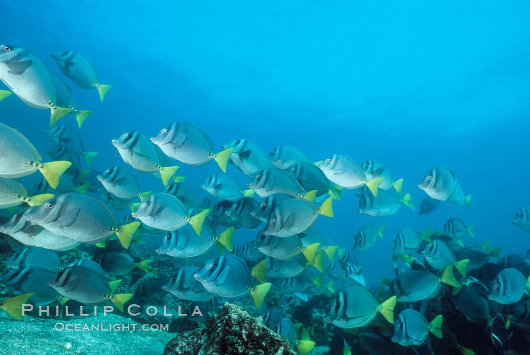 Yellow-tailed surgeonfish, Cape Marshall. Isabella Island, Galapagos Islands, Ecuador, Prionurus laticlavius, natural history stock photograph, photo id 01854