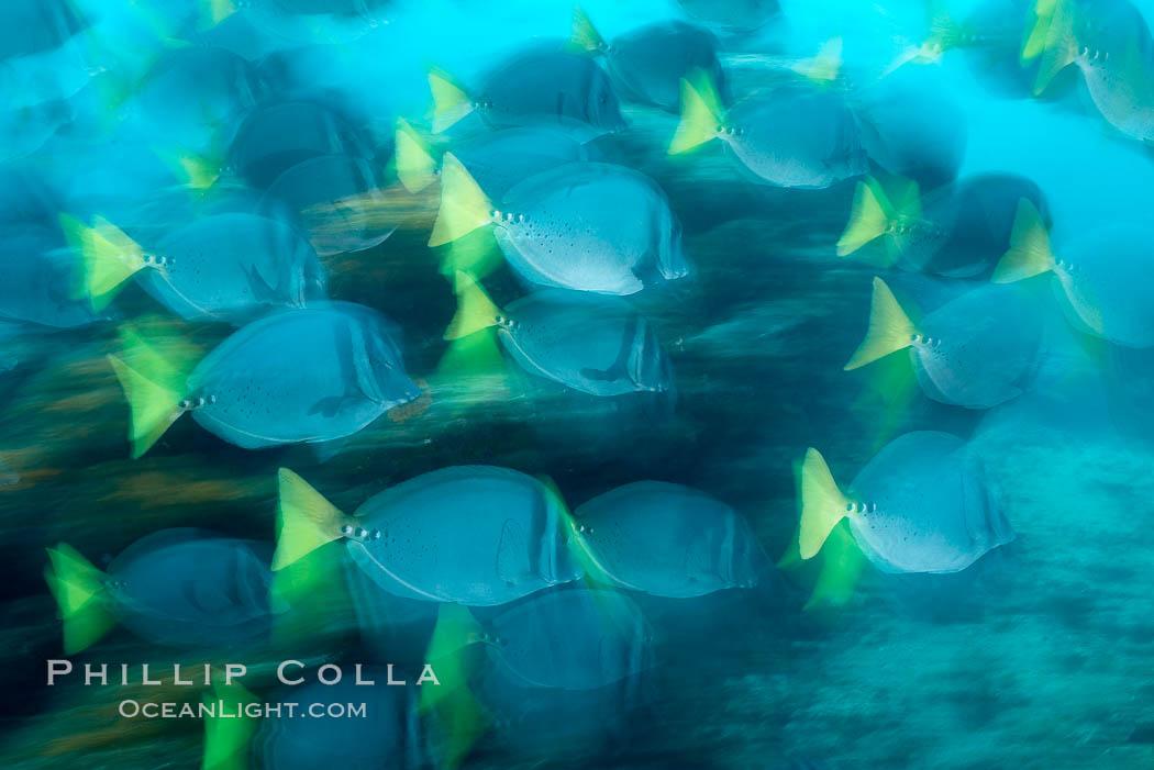 Yellowtail surgeonfish, motion blur. Cousins, Galapagos Islands, Ecuador, Prionurus laticlavius, natural history stock photograph, photo id 16366