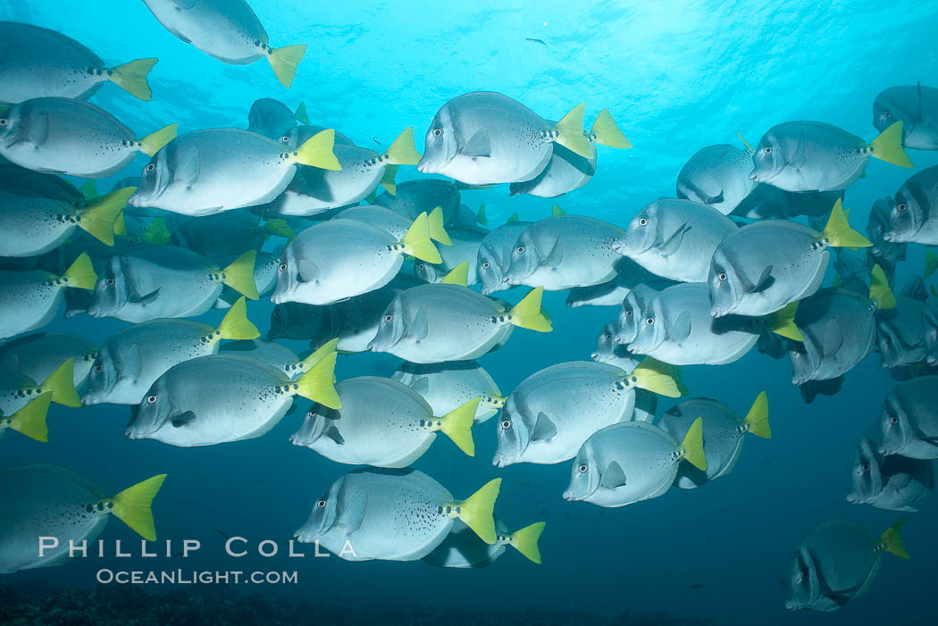 Yellowtail surgeonfish. Cousins, Galapagos Islands, Ecuador, Prionurus laticlavius, natural history stock photograph, photo id 16390