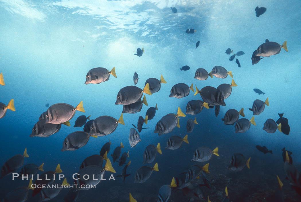Yellow-tailed surgeonfish. Galapagos Islands, Ecuador, Prionurus laticlavius, natural history stock photograph, photo id 01857