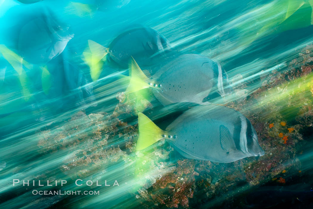 Yellowtail surgeonfish, motion blur. Cousins, Galapagos Islands, Ecuador, Prionurus laticlavius, natural history stock photograph, photo id 16365