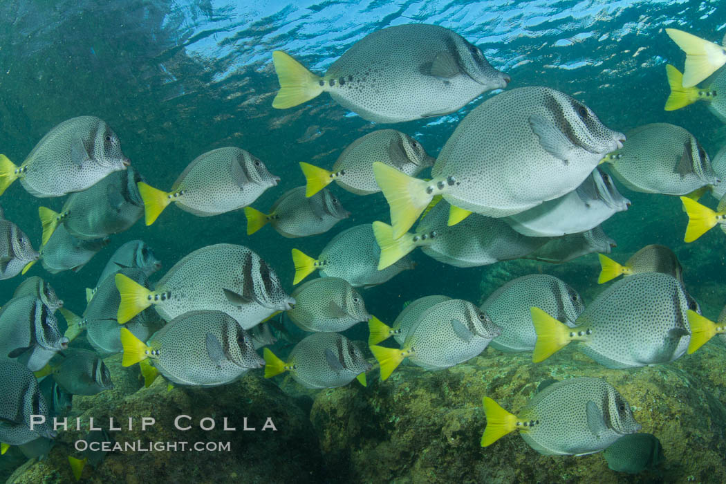 Yellow-tailed surgeonfish schooling, Sea of Cortez, Baja California, Mexico., Prionurus laticlavius, natural history stock photograph, photo id 27574