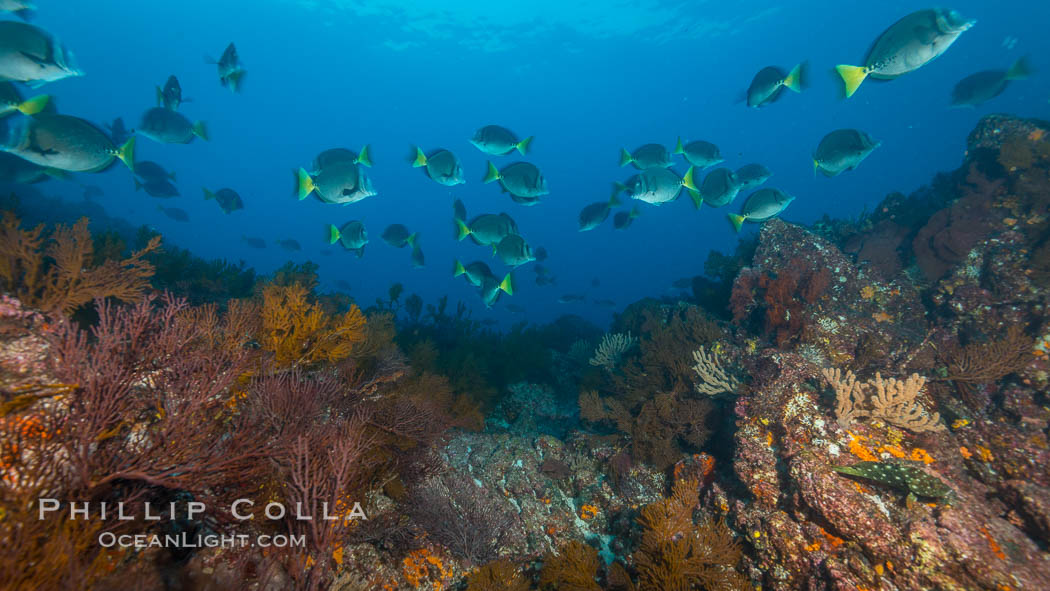 Yellow-tailed surgeonfish schooling over reef at sunset, Sea of Cortez, Baja California, Mexico. Baja California, Mexico, natural history stock photograph, photo id 33718