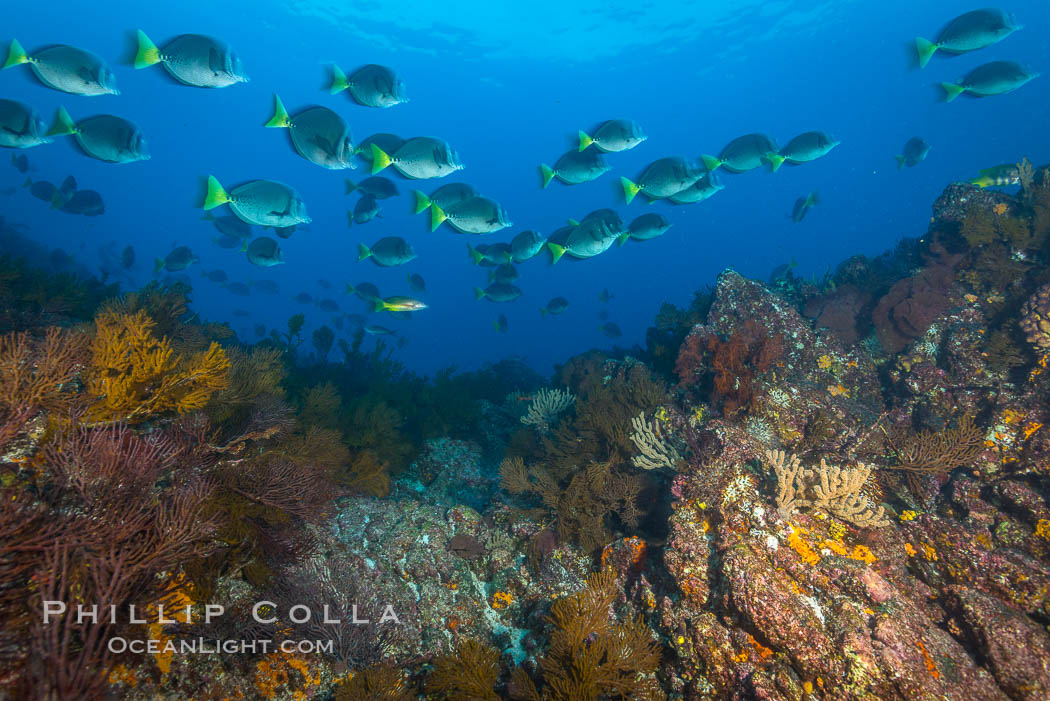 Yellow-tailed surgeonfish schooling over reef at sunset, Sea of Cortez, Baja California, Mexico., natural history stock photograph, photo id 33719