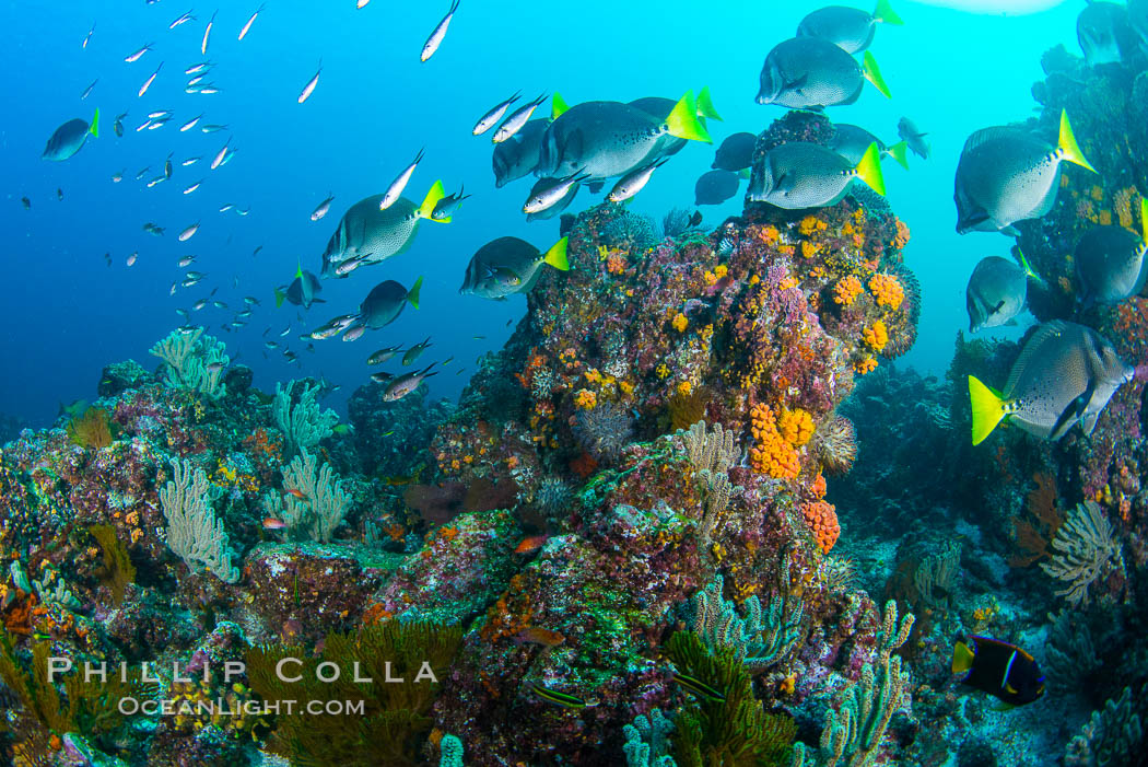 Yellow-tailed surgeonfish schooling over reef at sunset, Sea of Cortez, Baja California, Mexico. Baja California, Mexico, natural history stock photograph, photo id 33509