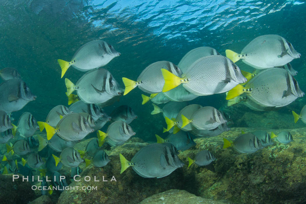 Yellow-tailed surgeonfish schooling, Sea of Cortez, Baja California, Mexico. Sea of Cortez, Baja California, Mexico, Prionurus laticlavius, natural history stock photograph, photo id 27575