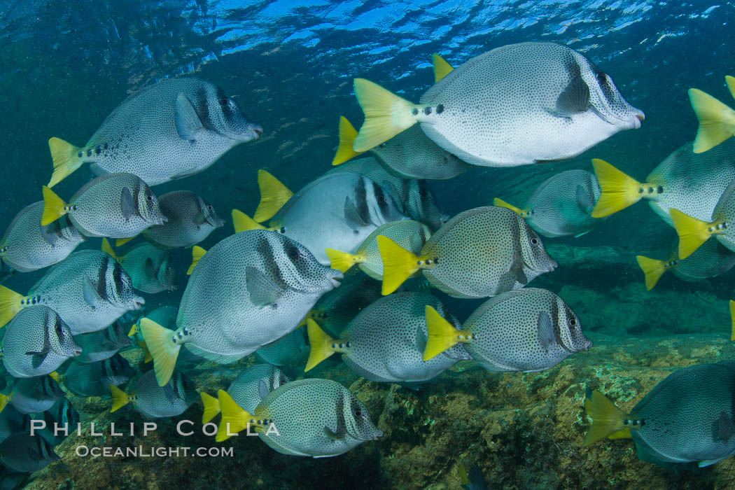 Yellow-tailed surgeonfish schooling, Sea of Cortez, Baja California, Mexico., Prionurus laticlavius, natural history stock photograph, photo id 27565