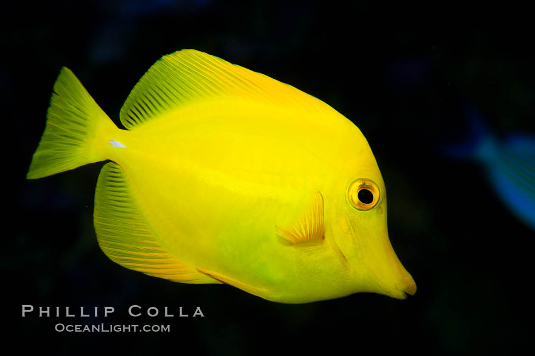 Image 27214, Yellow tang., Zebrasoma flavescens, Phillip Colla, all rights reserved worldwide. Keywords: animal, creature, fish, lemon sailfin, marine, marine fish, nature, ocean, sea, somber surgeonfish, tang, teleost fish, underwater, wildlife, yellow sailfin tang, yellow tang, zebrasoma flavescens.